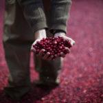 Un lavoratore tiene mirtilli rossi. REUTERS/Mike Segar